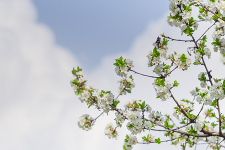 Flowered apple branch with white flowers and blue cloudy sky background.