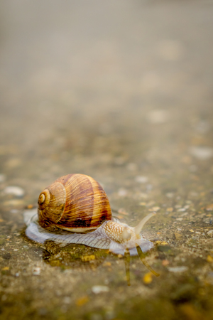 Snail crawling on concrete in shallow water. Snail in water. 免版税图像