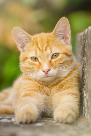 A beautiful young orange cat lying on a concrete stairway in the courtyard, blurred green background.