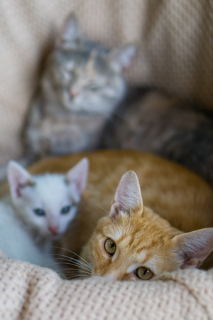 Yellow young cat laying with white kitten. Gray cat in background Stockfoto