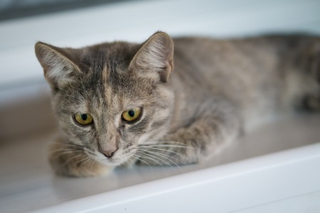 Cute young gray cat with yellow eyes lay on white window board