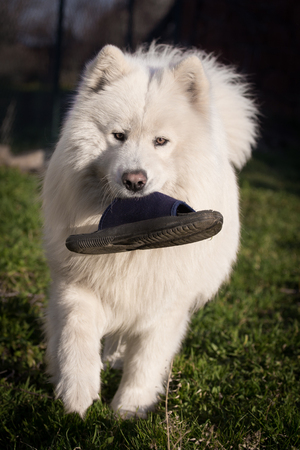 Big white samoyed standing on grass and holding slipper in mouth.
