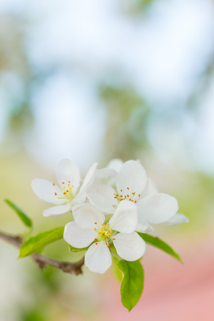 Apple tree blossom flowers on branch at spring. Beautiful blooming flowers isolated with blurred background. Standard-Bild