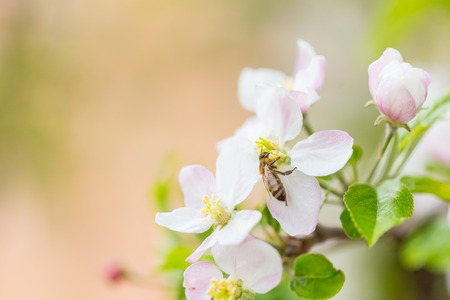 Bee collecting pollen on apple tree blossoming flower at spring. Apple tree bloom Фото со стока