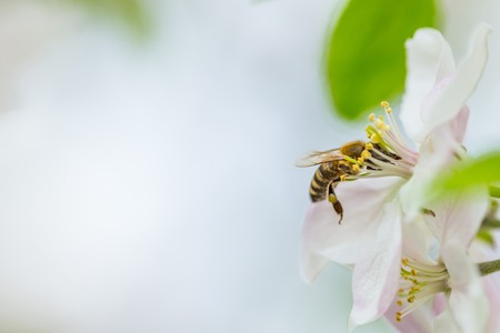 Bee collecting pollen on apple tree blossoming flower at spring. Apple tree bloom Imagens