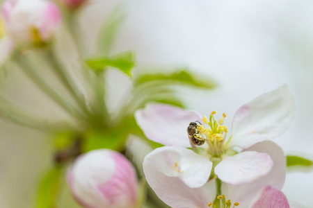 Bee collecting pollen on apple tree blossoming flower at spring. Apple tree bloom Reklamní fotografie