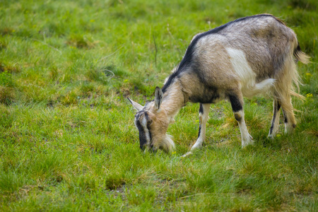 One brown goat standing on green grass with blurred background