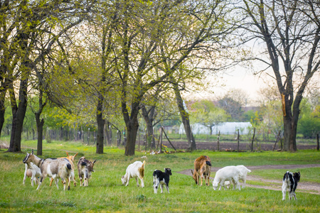Small herd of goats standing on green grass with trees in background. Different colored goats herd