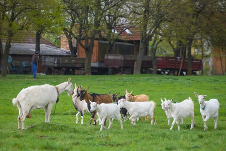 Small herd of goats standing on green grass with house in background. Different colored goats herd