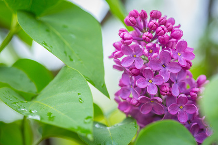 Purple Lilac flowers in spring with blurred green background
