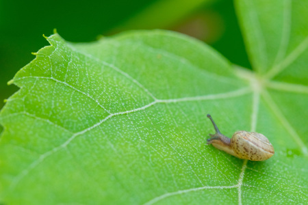 A little brown snail on a green leaf in the bush.