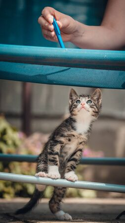 Cute little young black and white tiger cat with blue eyes standing on hind legs. Girl with pencil in hand plays with cat
