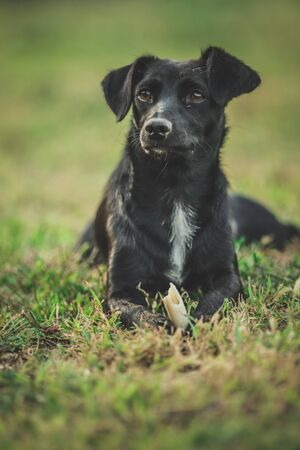 Small black female dog lay on green grass and look away