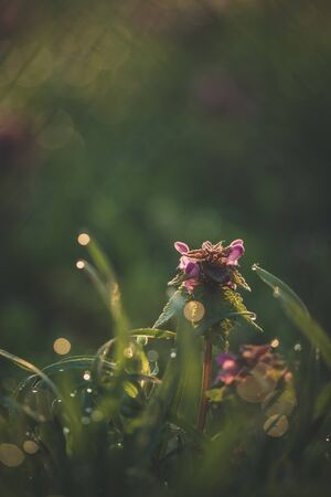 Lamium purpureum, purple dead-nettle at sunrise early in the morning with dew on the grass