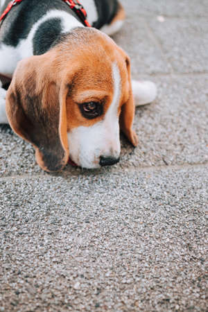 Young Beagle puppy lay on concrete tiles.