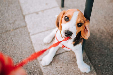 Young Beagle puppy playing with his red leash on concrete tiles.
