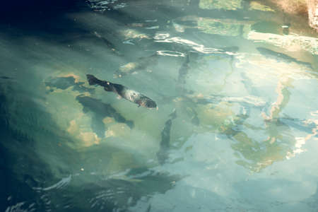 Small flock of catfish in green water in forest 版權商用圖片