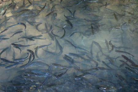 Flock of catfish in green water in forest 版權商用圖片