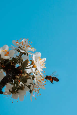 The bee collects pollen from white plum flowers. Spring blossoming scene