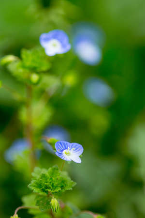Close up macro scene of beautiful small blue flowers in the field
