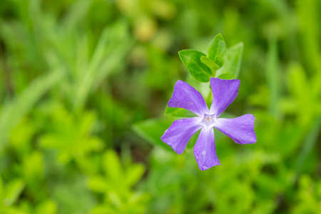 Myrtle Periwinkle flower in the field isolated with blurred background 版權商用圖片