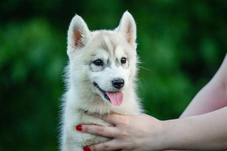 Woman holds black and white colored Siberian Husky puppy in her hands. Young dog isolated with green background.