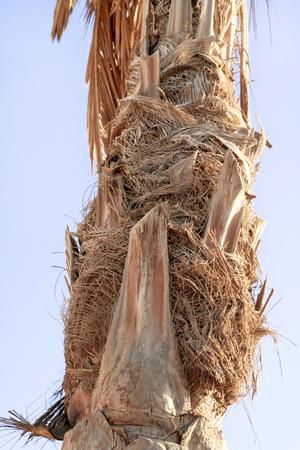 mare agitato: Palm tree close up of texture. The trunk of a palm tree. Summer photo concept. Archivio Fotografico