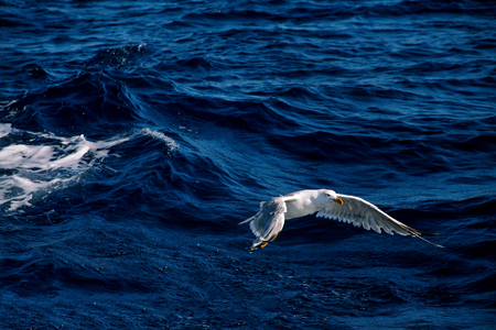wingspan: Seagull bird flying over the sea.
