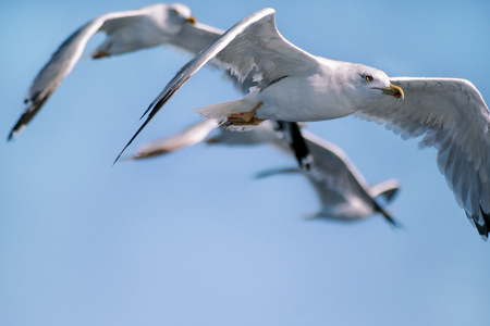 Seagulls birds flying, close up. Seagulls fly alone wings flying in the blue sky.