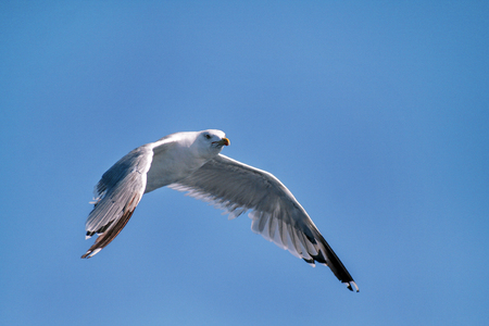 wingspan: Bird seagull flying in the sky over the sea. Stock Photo