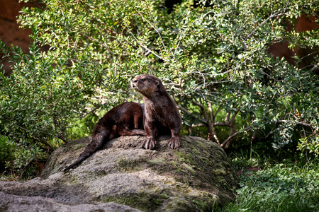 Eurasian otter. Brown otter looking away from the camera. Otter on a rock in the wilderness looking forward.