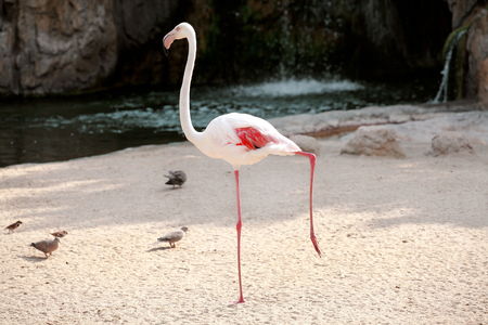 wade: Centralized white flamingo bird in a beautiful ambient. A beautiful bird of paradise and animals Flamingo enjoying the sunny day. Lesser Flamingo standing on one leg.