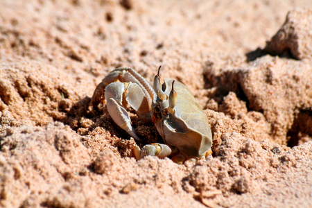 Ghost crab on the beach. Crab emerges from the sand on the beach.