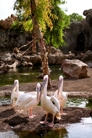 Great White Pelican bird in a beautiful ambient enjoying the sunny day. Stock Photo