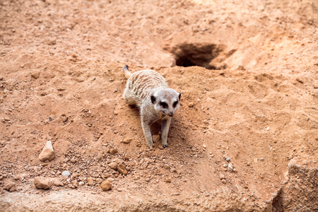 Meerkat crouching on sand and enjoy the summer day.