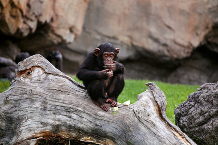 Young black mankey chimpanzee sitting on a large tree. Onion eating chimpanzee covering his face with his hand. Stock Photo