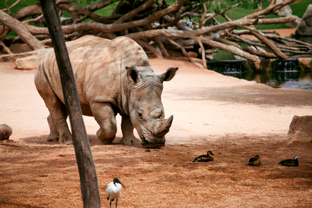 Rhinoceros in the zoo. Stock Photo