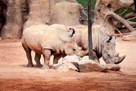 Two big rhinoceros at the zoo.