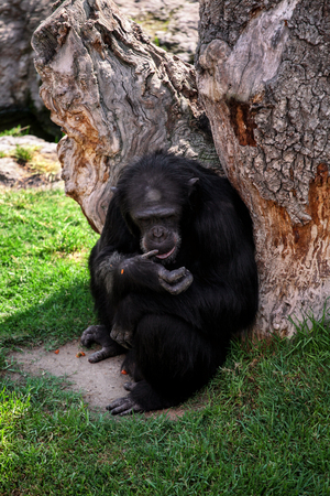 Monkey big black Chimpanzee sitting and eating place wood.