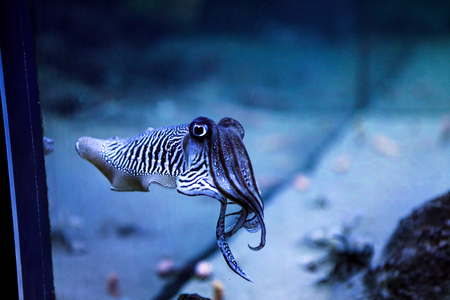 Cuttlefish in the aquarium. Amazing sweet zebra striped cephalopoda looking straight into the eyes of the observer. 스톡 콘텐츠