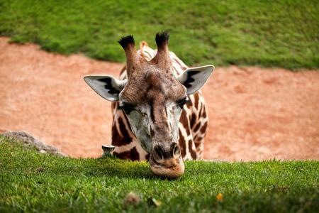 long nose: Giraffe head. Giraffe eating grass and enjoying the summer sunny day.