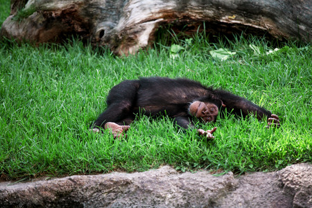 Small chimpanzee in a zoo relaxing and enjoys lying on the grass and posing at the camera. Stock Photo