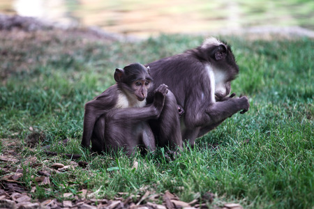 Sooty mangabeys on the grass. Monkey family in the zoo, enjoying at the lake.