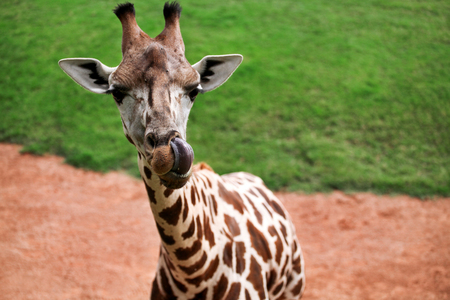 long nose: Giraffe head. Giraffe the tongue sticking out and poses in front of the camera, enjoying the summer sunny day. Stock Photo