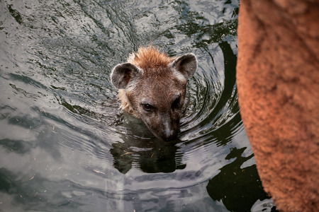 hienas: Hyena swims in the lake. The head of hyenas can be seen from the water in close up. Foto de archivo