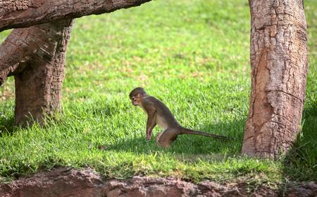 agape: Monkey Rhesus macaque enjoying the shade tree. Image of monkey sitting on nature background.