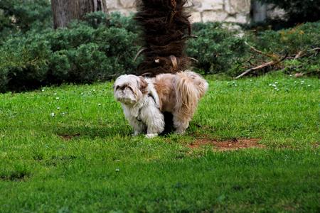 Dog shih tzu. A beautiful Chinese dog shih tzu breed outdoors in a park. The portrait of cute funny Shih Tzu dog in the spring garden.