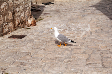 Single seagull in the street as a background. White bird seagull posing on a street. Seagull in Rovinj Croatia. Funny seagull standing close and curiously looking at the camera waiting for some treat.