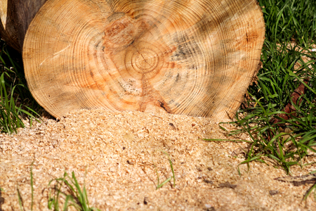 A tree log trunks on grass ready for cutting, close up. Part of a cut log on the ground with sawdust. Wood industry. Heating season, winter season. Renewable resource of energy. Environmental concept.
