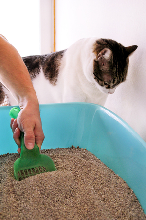 Cleaning cat litter box. Hand is cleaning of cat litter box with green spatula. Toilet cat cleaning sand cat. A cat looking at her own poop in blue litter box. Pet shop. Cat at home, domestic animal.